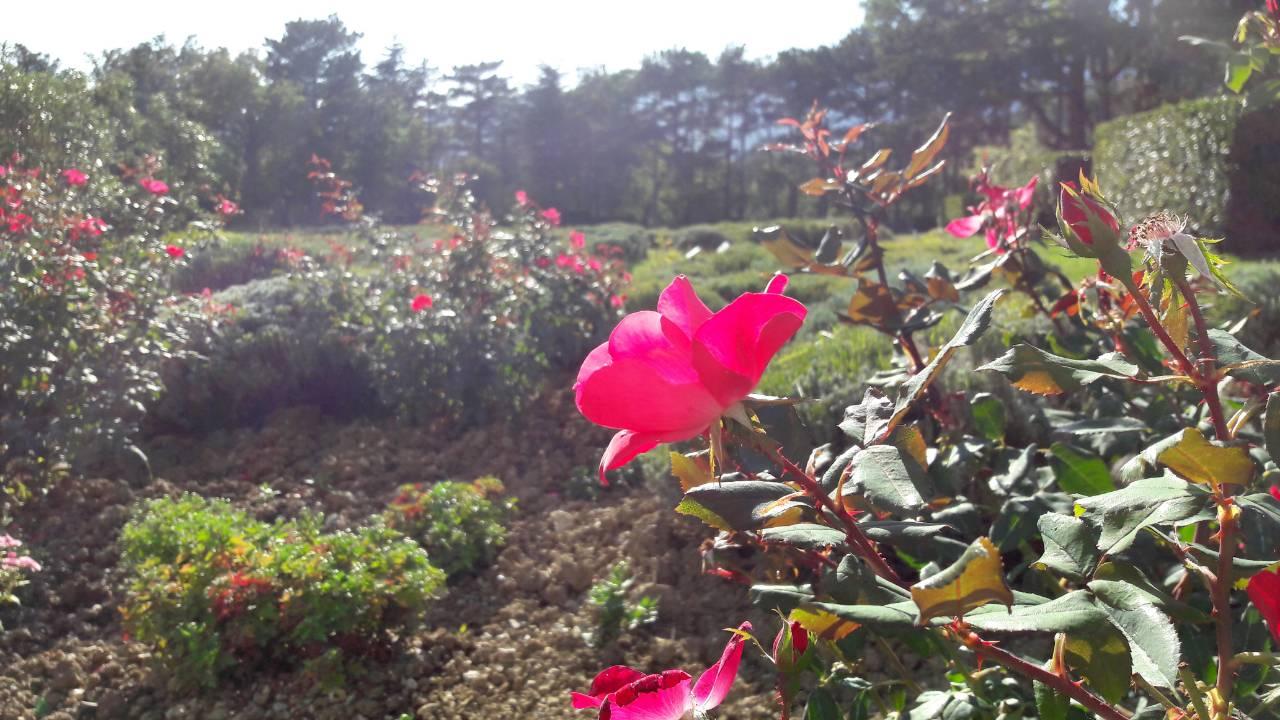 Розы ялта