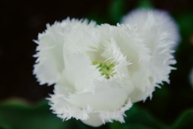 парад тюльпанов ялта