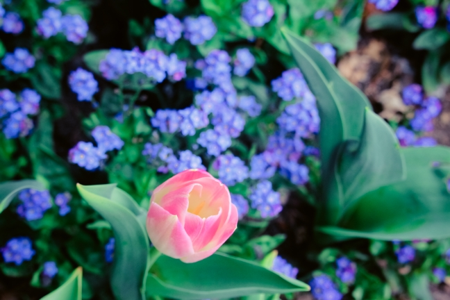 тюльпаны ялты